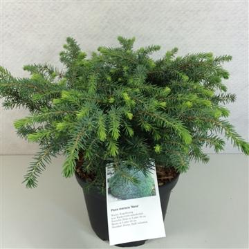 Picea mariana 'Nana'