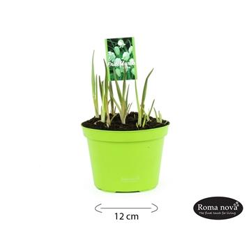 Frittelaria melegris alba 12cm