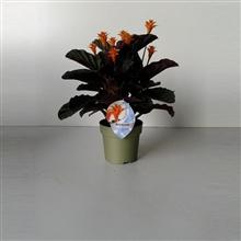Calathea Crocata Candela 7/8 bloem green metallic