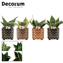 Sansevieria Hahnii 6 cm mix in Fee (Stone Touch-collection)