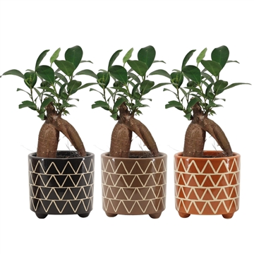 Ficus Ginseng Retusa 6 cm in Fee (Stone Touch-collection)