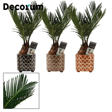 Cycas Revoluta 6 cm in Fee (Stone Touch-collection)