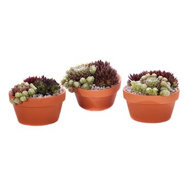 3x sempervivum terracotta