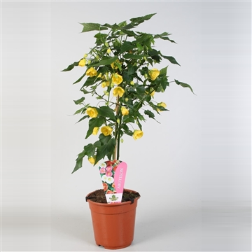 Abutilon overig op stam geel
