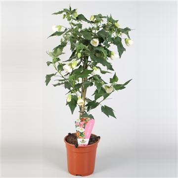Abutilon overig op stam wit