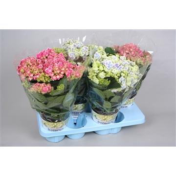 Hydrangea Bicolour mix 7/8 bloem