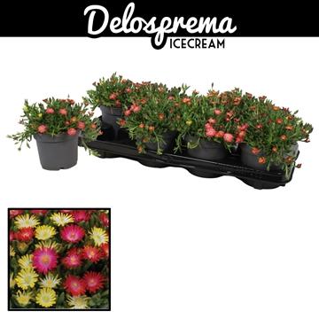 Delosperma Icecream 12cm