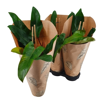Philodendron New Red Pyramide 19 cm Kraft