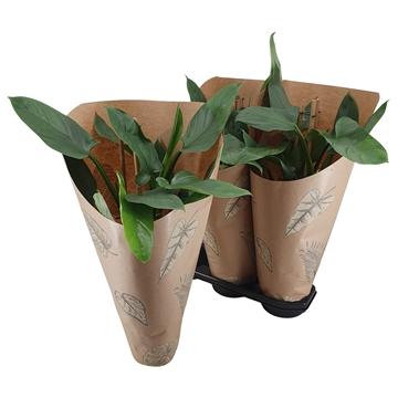 Philodendron Silver Queen Pyramide 19 cm Kraft