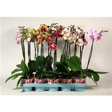 Phalaenopsis 2 tak special duomix (Decorum)