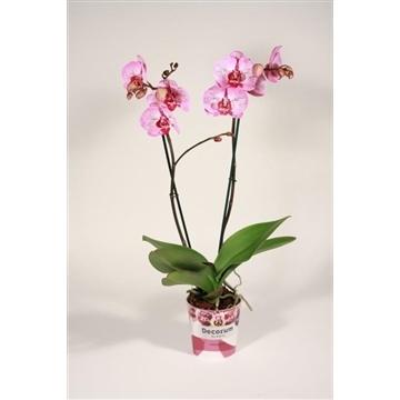 Phalaenopsis 2 tak Melody (Decorum)