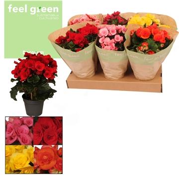 Begonia ''Gemengd'' in Feel Green