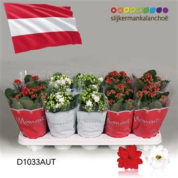 Kalanchoë Moments - Austria flag