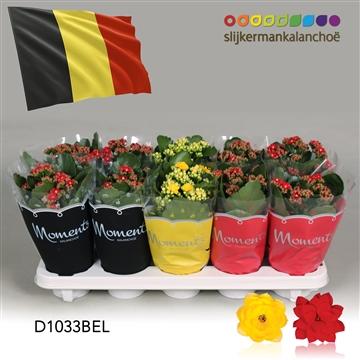 Kalanchoë Moments - Belgium flag