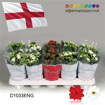 Kalanchoë Moments - England flag