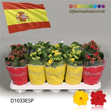 Kalanchoë Moments - Spain flag