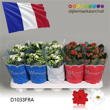 Kalanchoë Moments -  France flag