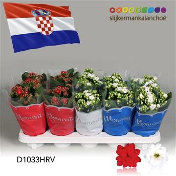 Kalanchoë Moments -  Croatia flag