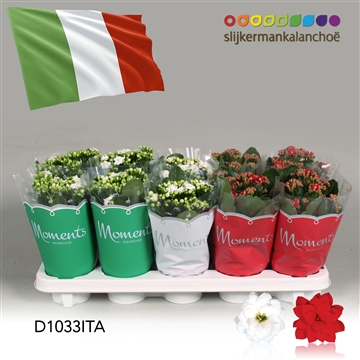 Kalanchoë Moments - Italia flag