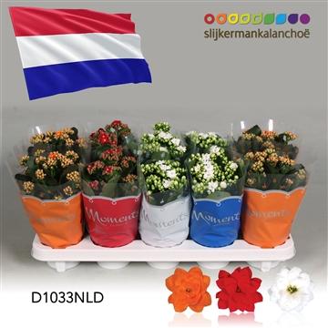 Kalanchoë Moments - Netherlands flag