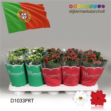 Kalanchoë Moments - Portugal flag