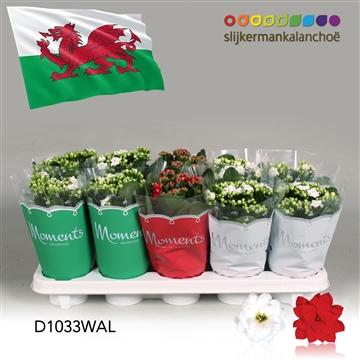 Kalanchoë Moments - Wales flag