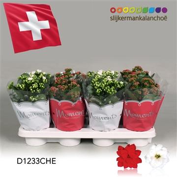 Kalanchoë Moments - Switzerland flag