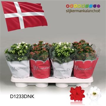 Kalanchoë Moments - Denmark flag