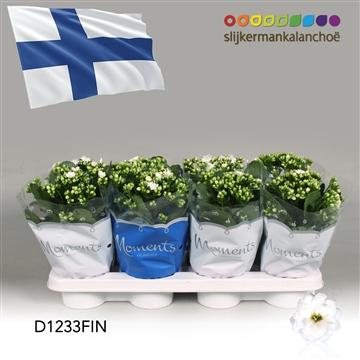 Kalanchoë Moments - Finland flag