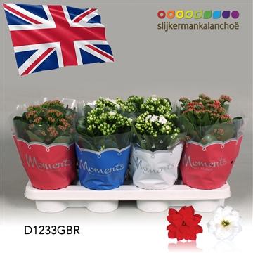 Kalanchoë Moments - Great Britain flag