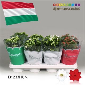 Kalanchoë Moments - Hungary flag