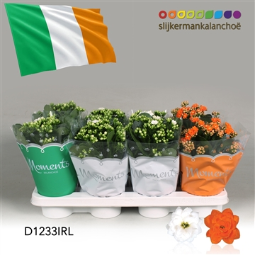 Kalanchoë Moments - Ireland flag