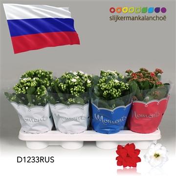 Kalanchoë Moments - Russia flag