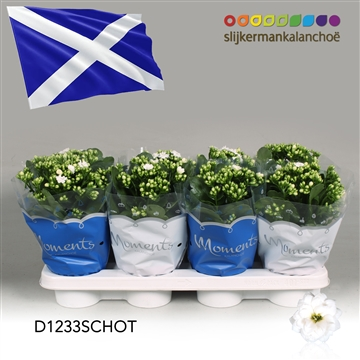 Kalanchoë Moments - Schotland flag