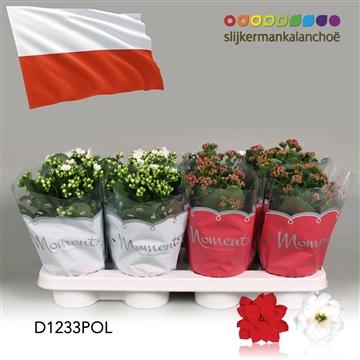 Kalanchoë Moments - Poland flag