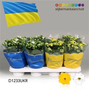 Kalanchoë Moments - Ukraine flag