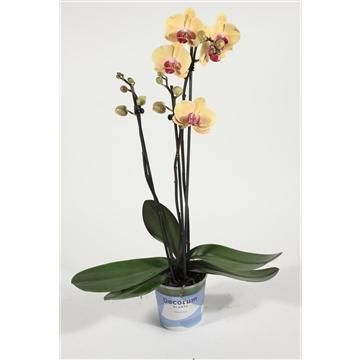 Phalaenopsis 3 tak Golden Beauty (Decorum)
