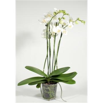 Phalaenopsis 4 tak Tropic Snowball
