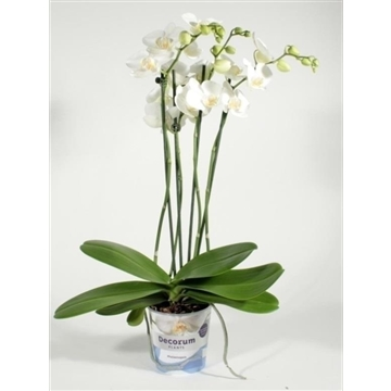 Phalaenopsis 4 tak Tropic Snowball (Decorum)