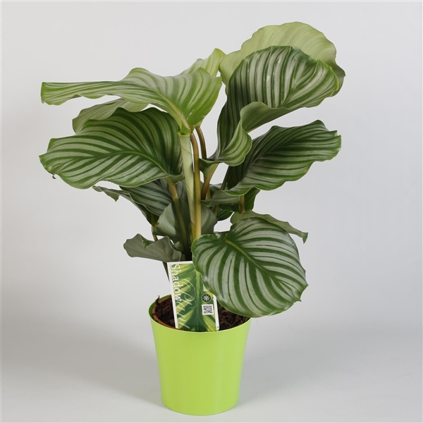 calathea orbifolia in plastic sierpot fp029 12001 floraplanet. Black Bedroom Furniture Sets. Home Design Ideas