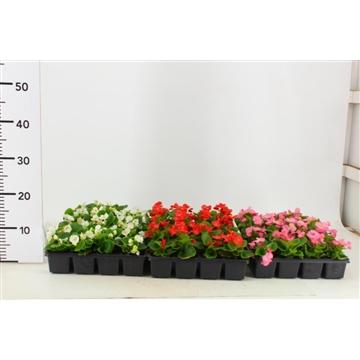 Begonia gemengd per laag