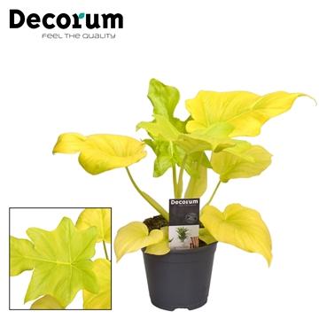 Philodendron Selloum Gold (Decorum)