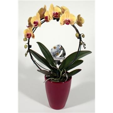 Phalaenopsis boog Golden Beauty 2 tak in Carly (Decorum)