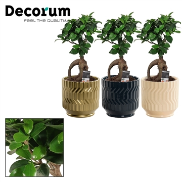 Ficus Ginseng Bonsai geënt 12 cm in Jackie (Neo Architect-coll.)