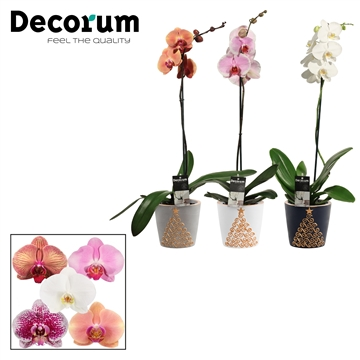 Phalaenopsis 1 tak mix in Starlight (Neo Architect-collection)