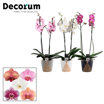Phalaenopsis 2 tak mix in Starlight (Neo Architect-collection)