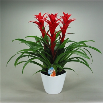 Guzmania Ostara Forma Wit (Decorum)