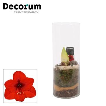 Hippeastrum Rood 2 Knop in Gaby Cilinderglas HERFST (Decorum)