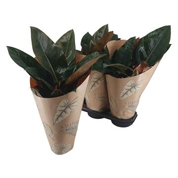 Philodendron Congo Rojo 19 cm Kraft