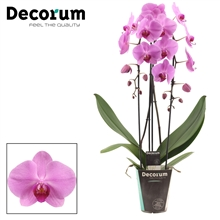 Phalaenopsis cascade 2 tak Minnesota (Decorum)